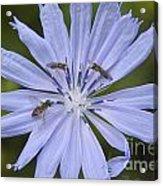 Chicory For Three Acrylic Print