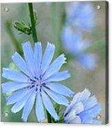 Chicory Acrylic Print