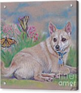 Chihuahua With Butterflies  Acrylic Print