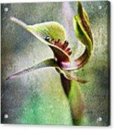Chiloglottis Acrylic Print by David Lade