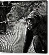 Chimp Acrylic Print