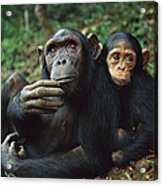 Chimpanzee Adult Female With Orphan Baby Acrylic Print