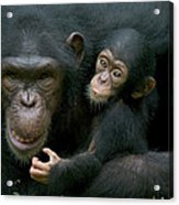Chimpanzee Pan Troglodytes Adult Female Acrylic Print