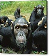 Chimpanzee Pan Troglodytes Female Acrylic Print
