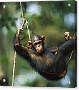 Chimpanzee Pan Troglodytes Resting Acrylic Print