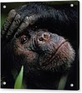 Chimpanzees, As Reported By Jane Acrylic Print