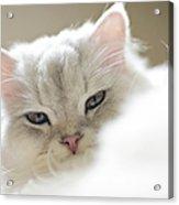 Chinchilla Cat Acrylic Print