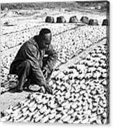 Chinese Man Drying Fish On The Shore - C 1902 Acrylic Print