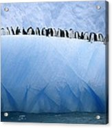 Chinstrap Penguins Lined Acrylic Print