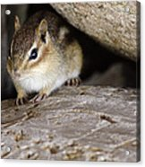 Chipmunk In Danger Acrylic Print