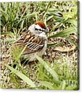 Chipping Sparrow Acrylic Print