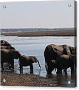 Chobe Elephants Acrylic Print