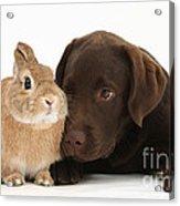 Chocolate Labrador Pup Acrylic Print