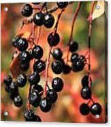 Chokecherry Acrylic Print
