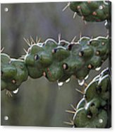 Cholla Cactus In The Rain Acrylic Print