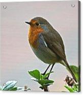 Christmas Card Robin Acrylic Print
