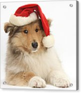 Christmas Collie Pup Acrylic Print