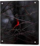 Christmas Eve - Northern Cardinal Acrylic Print