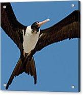 Christmas Island Frigatebird Fregata Acrylic Print
