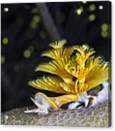 Christmas Tree Worm In Raja Ampat Acrylic Print