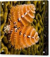 Christmas Tree Worm Spirobranchus Acrylic Print