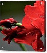 Chromatic Gladiola Acrylic Print by Deborah  Crew-Johnson