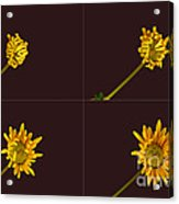 Chrysanthemum Blooming Sequence Acrylic Print