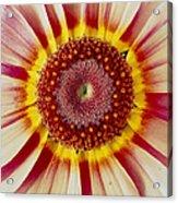 Chrysanthemum Carinatum Flower Acrylic Print