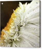 Chrysanthemum Daisy With Raindrops Acrylic Print