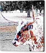 Cibolo Ranch Steer Acrylic Print