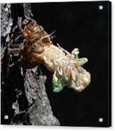Cicada - First In Series Acrylic Print