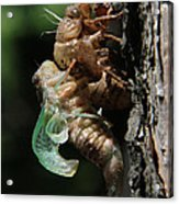 Cicada - Third In Series Acrylic Print
