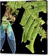 Cicada Emerging From Chrysalis Acrylic Print