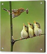 Cici Red Bird Acrylic Print