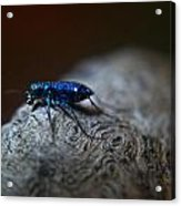 Cicindellidae A Family Of Preditors Acrylic Print
