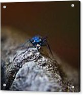 Cicindellidae Face To Face Acrylic Print