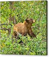 Cinnamon Black Bear Limited Edition Acrylic Print