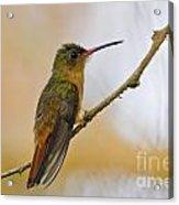 Cinnamon Hummingbird Resting. Acrylic Print