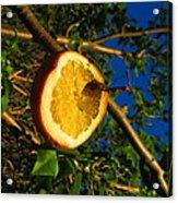 Citrus In The Tree Acrylic Print