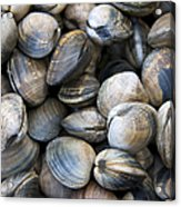 Clam Shell Background Acrylic Print