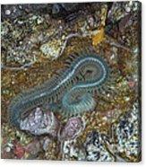 Clam Worm Acrylic Print