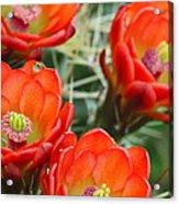 Claret-cup Cactus 2am-28736 Acrylic Print