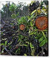 Clear Cut Red Mangrove Stand Acrylic Print