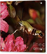 Clear Wing Hummingbird Moth 1 Acrylic Print