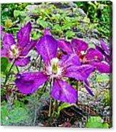 Clematis Abby Aldrich Rockefeller Garden Acrylic Print