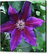 Clematis 'barbara Jackman' Flower Acrylic Print