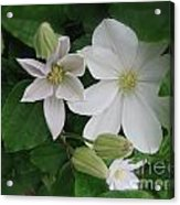 Clematis In Bloom  Acrylic Print