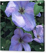 Clematis 'special Occasion' Flowers Acrylic Print