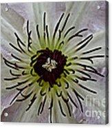 Clematis Stamen Acrylic Print