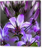Cleome - Rose Queen Acrylic Print
